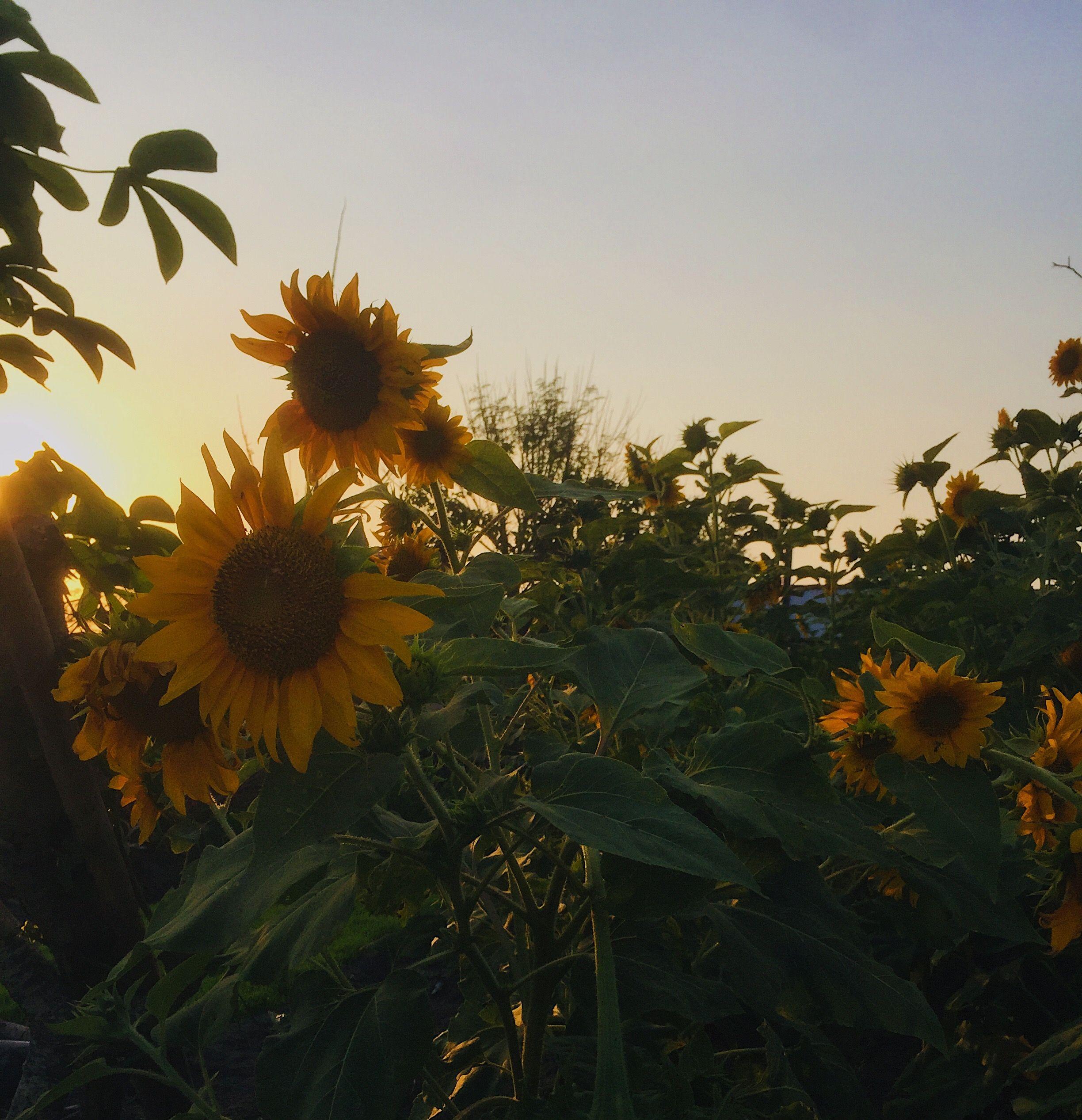 Kebun Bunga Matahari Di Jakarta