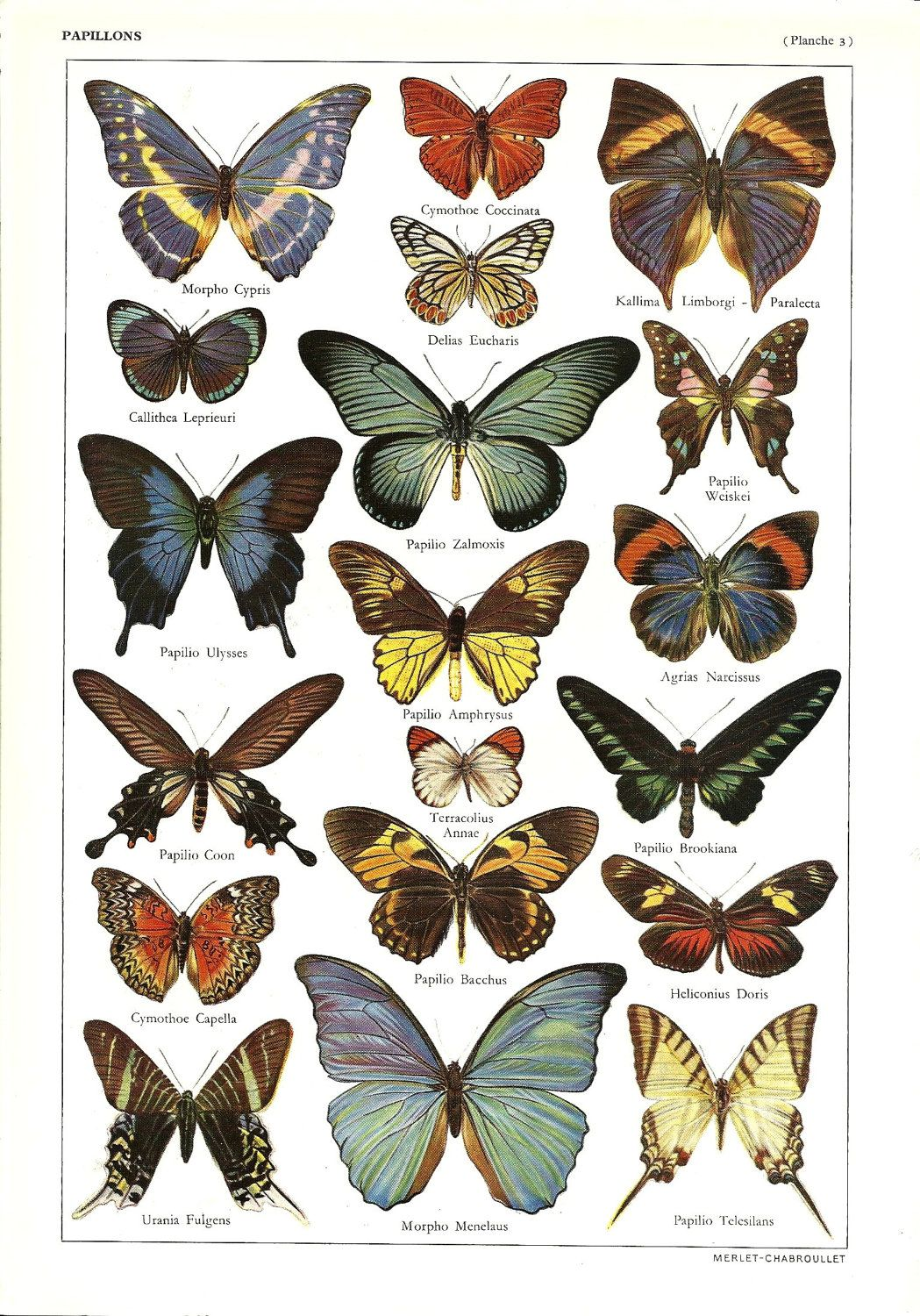 Vintage BUTTERFLIES illustration - Antique French ...  Vintage Butterfly Chart