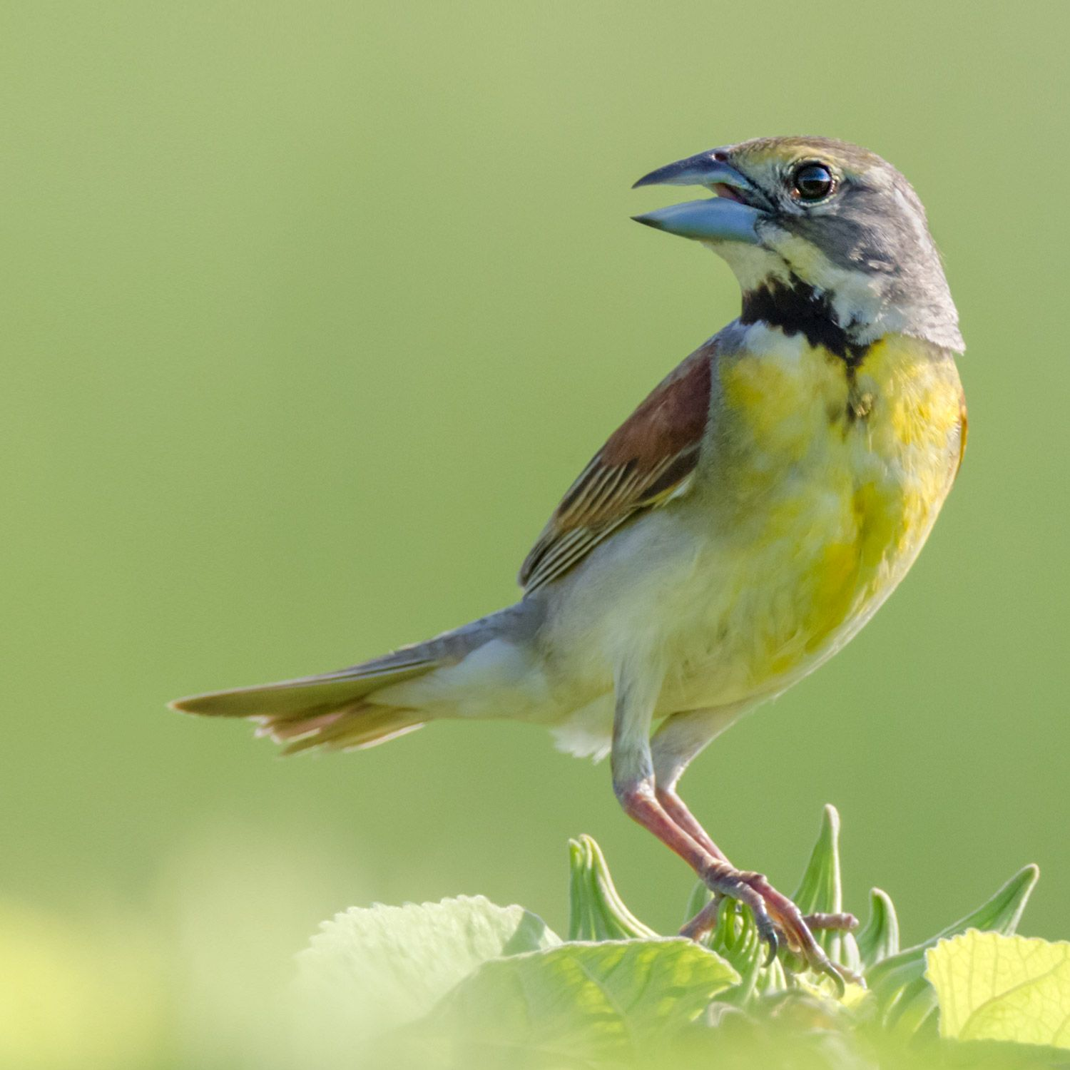 Dickcissel Healthcare Art Nature Photography Bird Photography