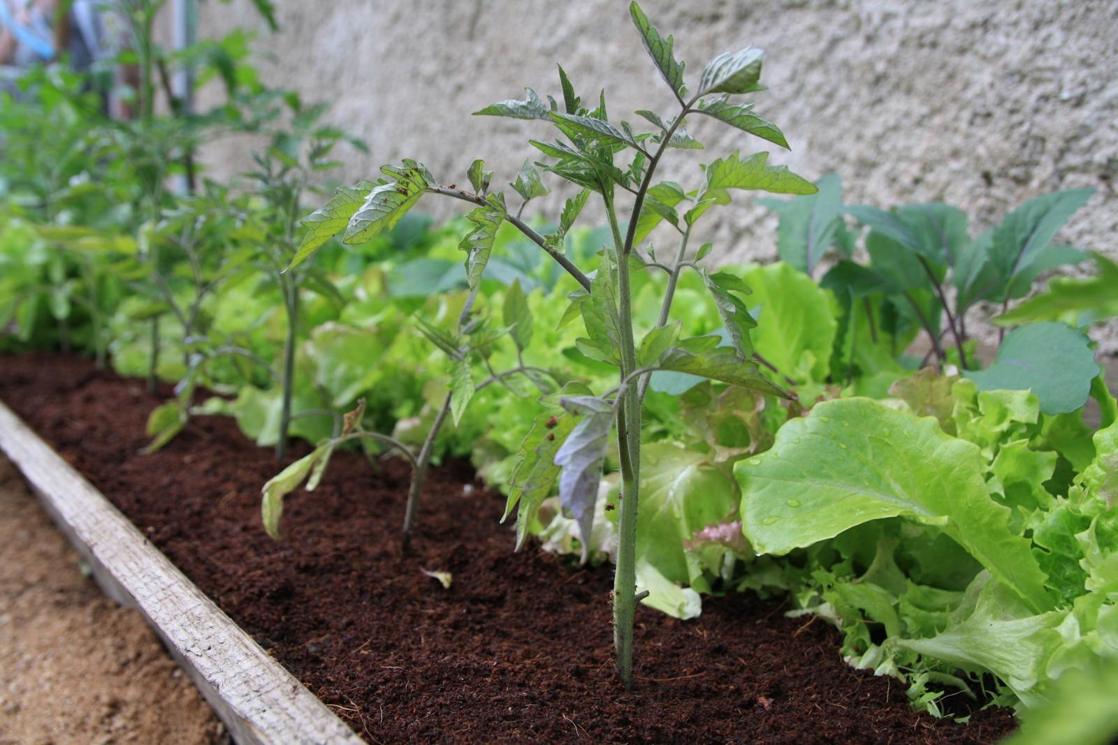 Mischkultur bei Tomaten: Die besten Pflanznachbarn – Plantura