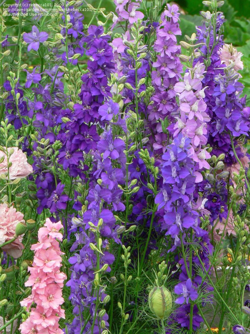 Full size picture of Rocket Larkspur 'Giant Imperial Mix