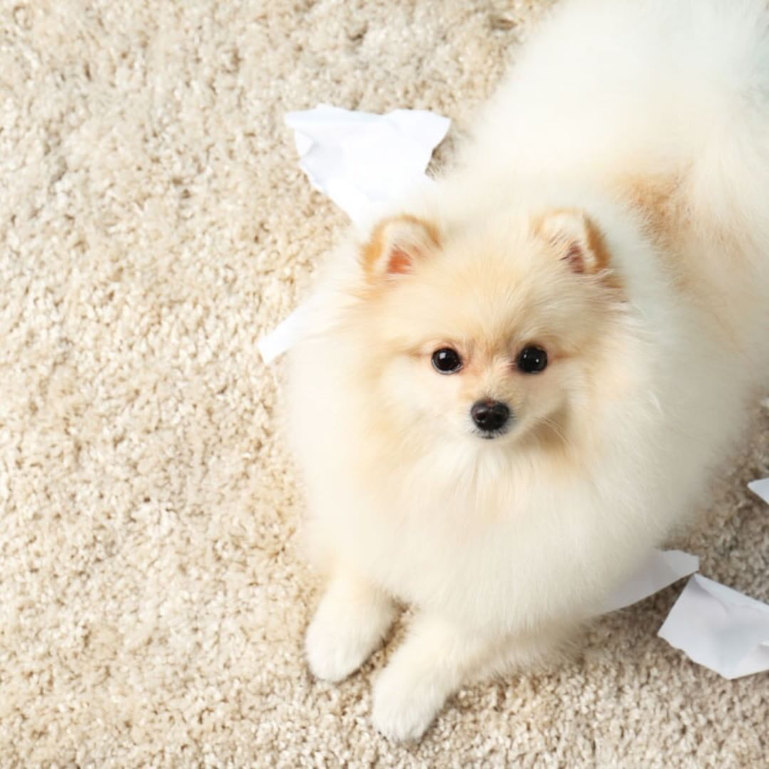 Dog Breed That Looks Like A Rug: Pomeranian Spitz Dog With Torn Paper On Carpet Posted By