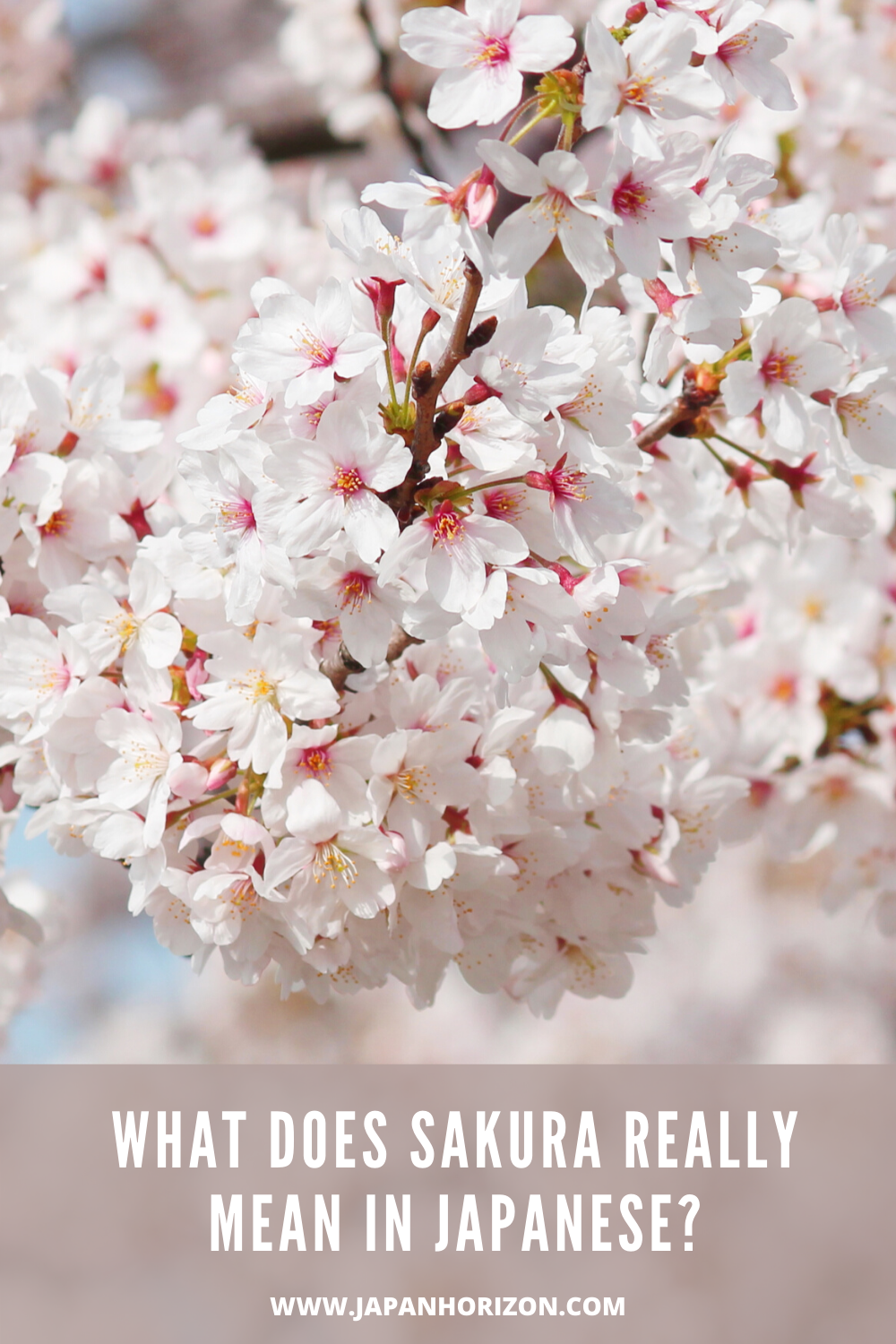 What Does Sakura Really Mean In Japanese Cherry Blossom Quotes Cherry Blossom Japan Japan Sakura