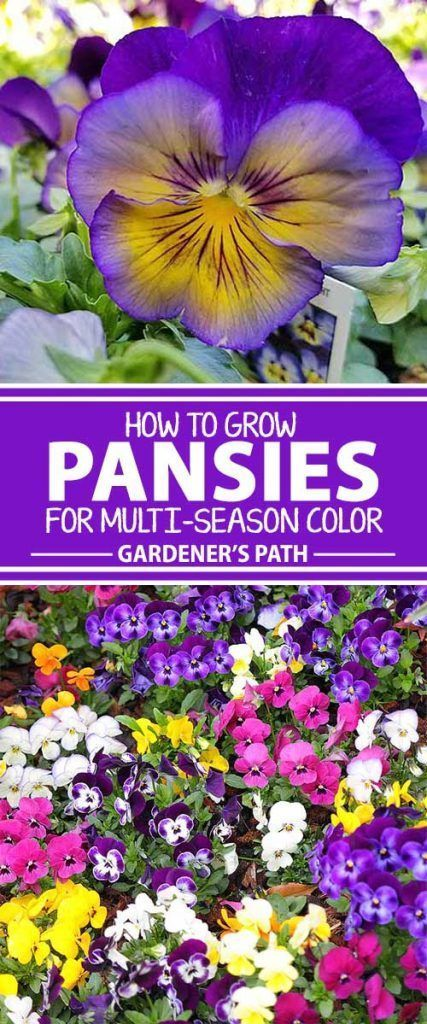 Photo of How to Grow Pansies and Violas for Multi-Season Color| Gardener's Path