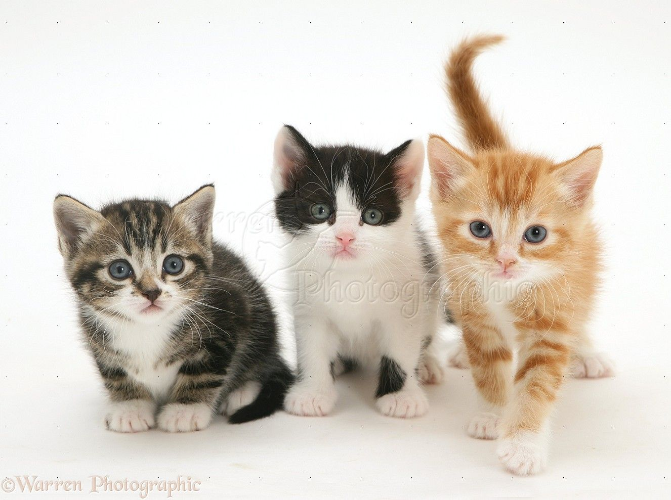 WP Three kittens one tabby and white one ginger and one