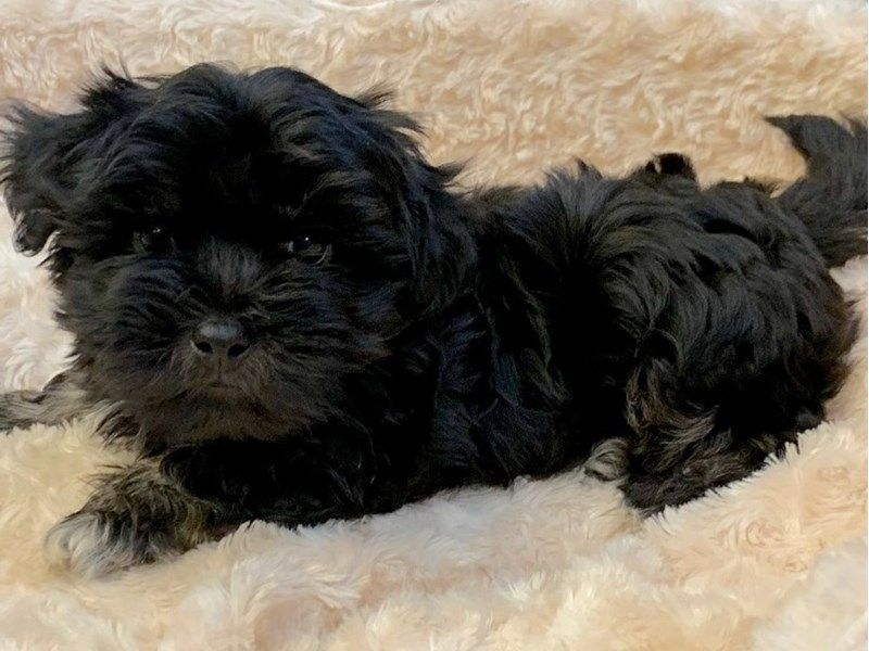 Havanese Dog Male Black 2352923 Petland San Antonio Havanese