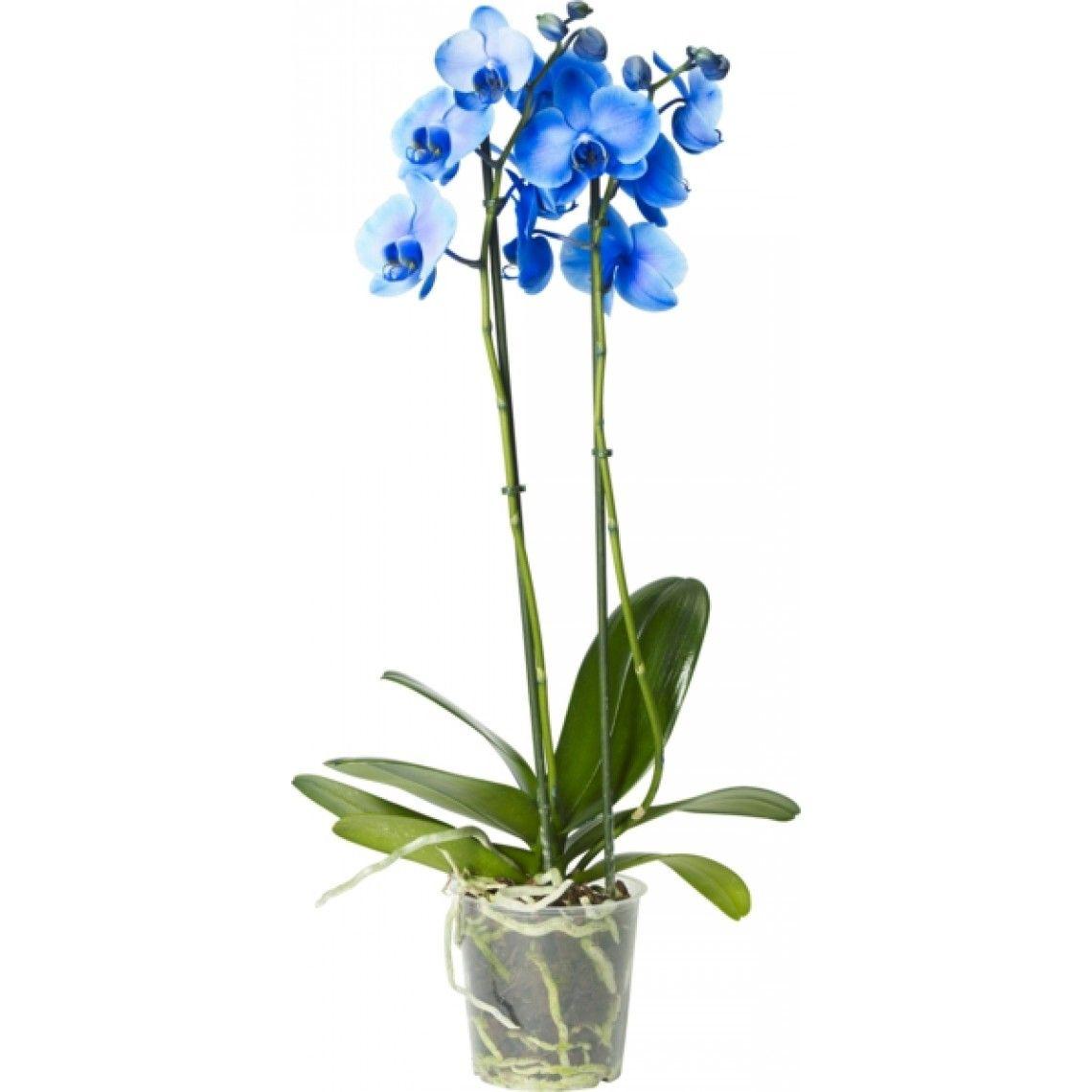 Perhoskämmekkä, 2 oksaa, sininen