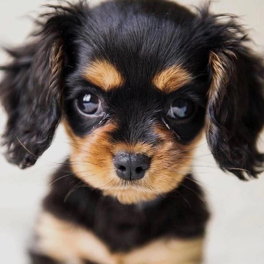 Ella In Paris To Be Featured Use Tag Share This Cute Photo With Your Friends Follow Us Cute Puppies King Charles Cavalier Spaniel Puppy Puppies