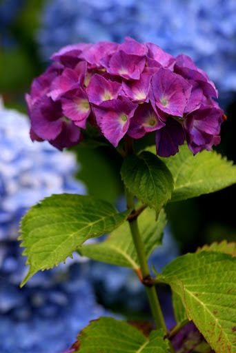 Posts About Flowers Botany On Rosemary S Blog Beautiful Flowers Garden Beautiful Flowers Hydrangea Colors