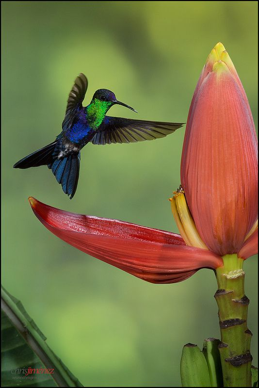Violet-crowned woodnymph hummingbird and banana flower, Costa Rica