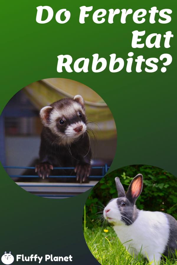 Do Ferrets Eat Rabbits 2020 Ferret Litter Training Rabbits Litter Training