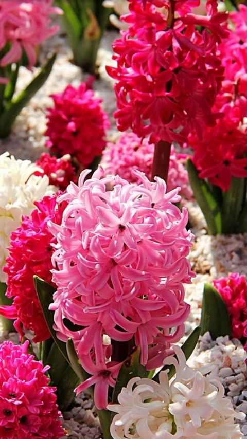 Hyacinth Pink Flower Wallpaper for Mobile Phone, 480x854px