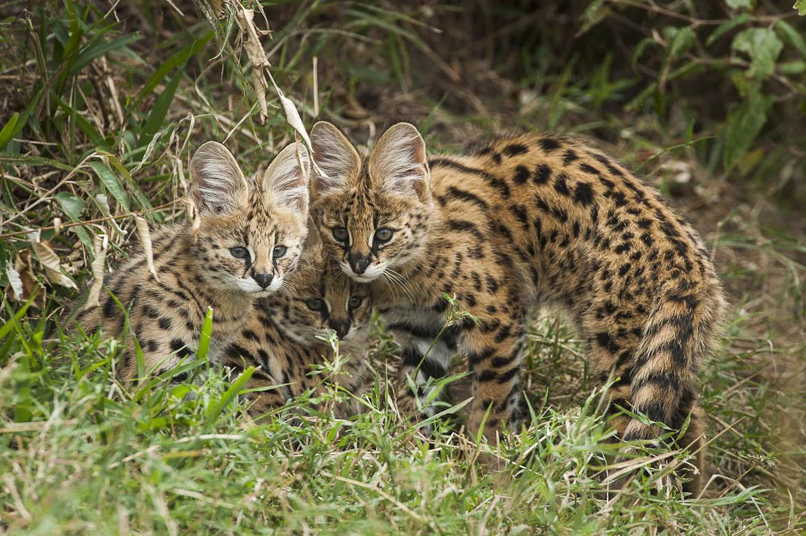 Rare images of wild Serval cubs taken in Masai Mara, Kenya | Federico Veronesi Photography