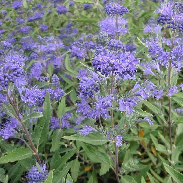 caryopteris clandonensis 39 heavenly blue 39 blauwe spirea. Black Bedroom Furniture Sets. Home Design Ideas