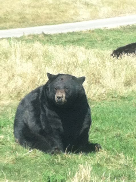 Decorated Chaos: Saying Good-Bye to Summer-Vacation Recap ~ well fed black bear in Bear Country...SD