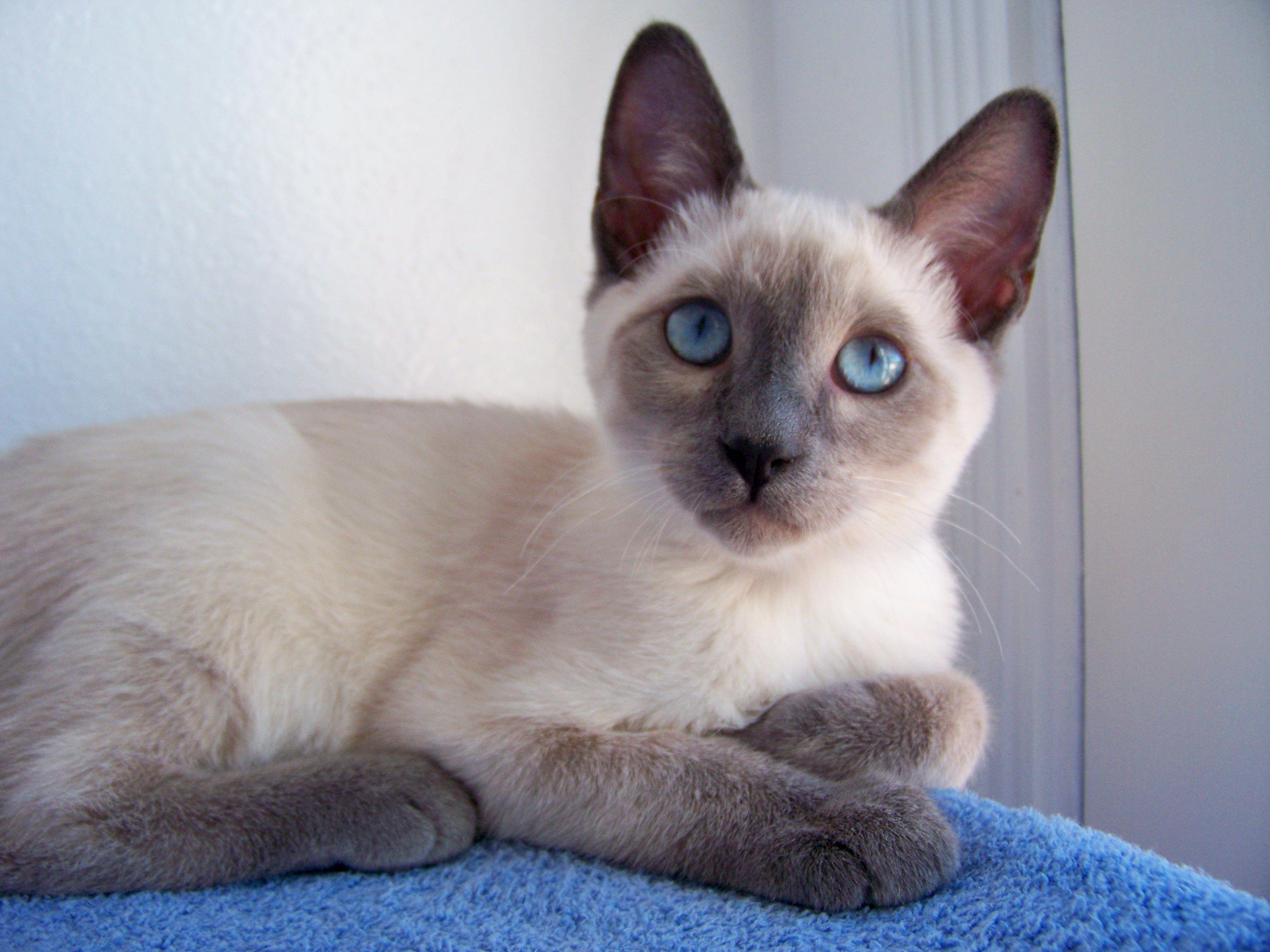 Jystyce A Blue Point Siamese Kitten Milye Kotiki