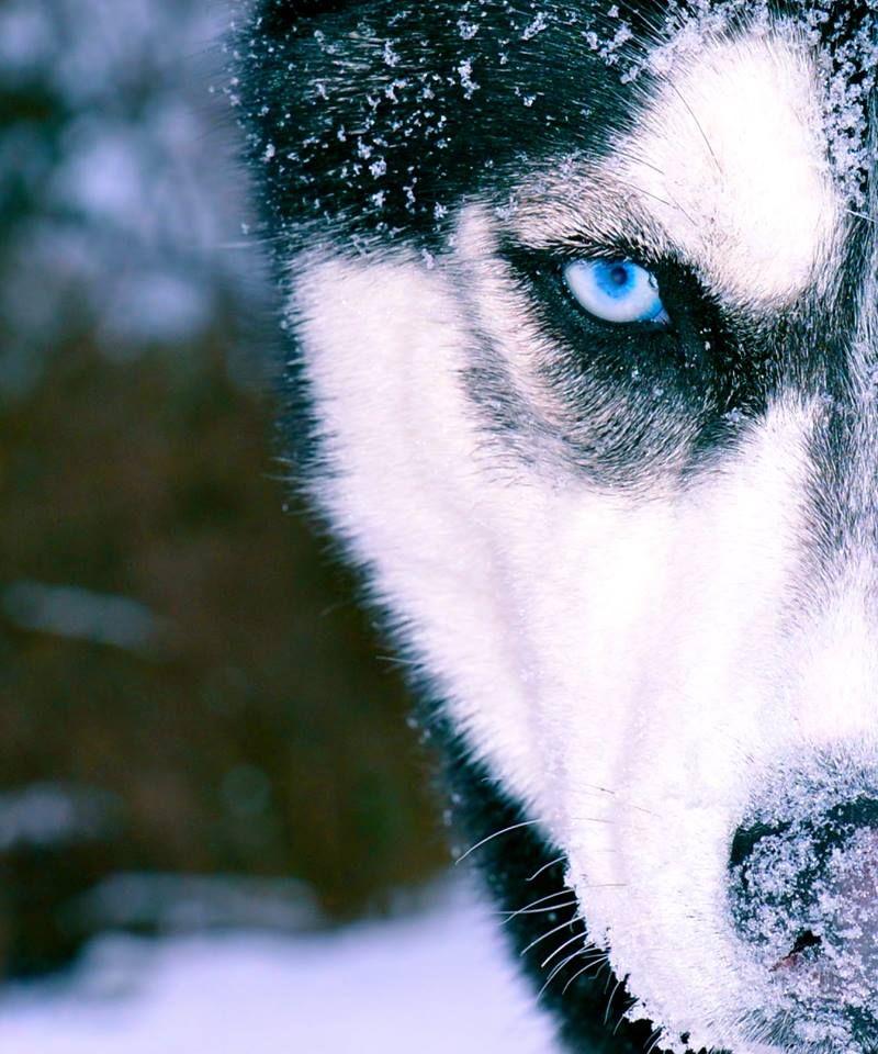 голубоглазые волки фото