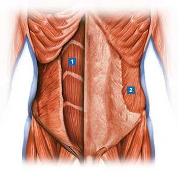 1.gerader Bauchmuskel (Musculus rectus abdominis) 2.schräger äußerer ...