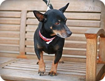 Dachshund Manchester Terrier Mix Dog Thus Looks Just Like Our Dog I Think We Ve Solved The Mystery Dachshund Adoption Pets Dachshund