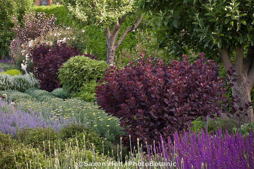 Shrub border 39 royal purple 39 purple foliage shrub in for Shrubs for garden borders