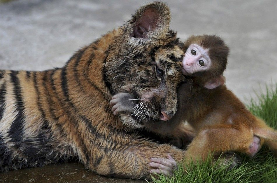 A baby rhesus monkey plays with his best pal. (ImagebyJIANAN YU / Reuters)