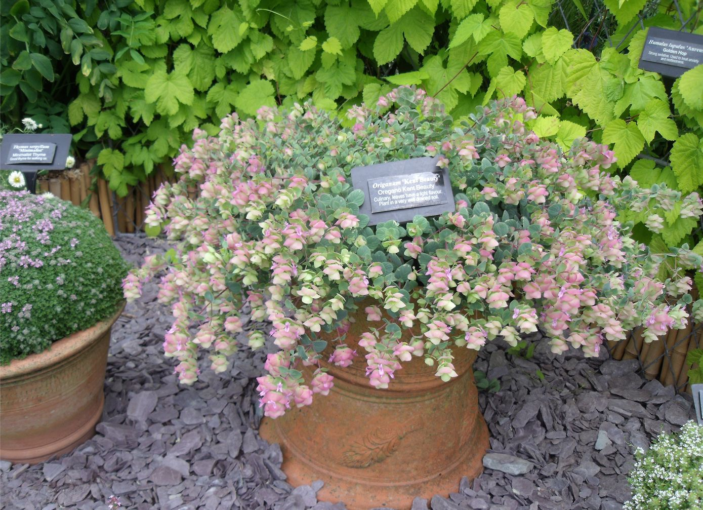 Picture of Live Oregano aka Origanum rotund. 'Kent Beauty' Plant Fit 1 Gallon Pot