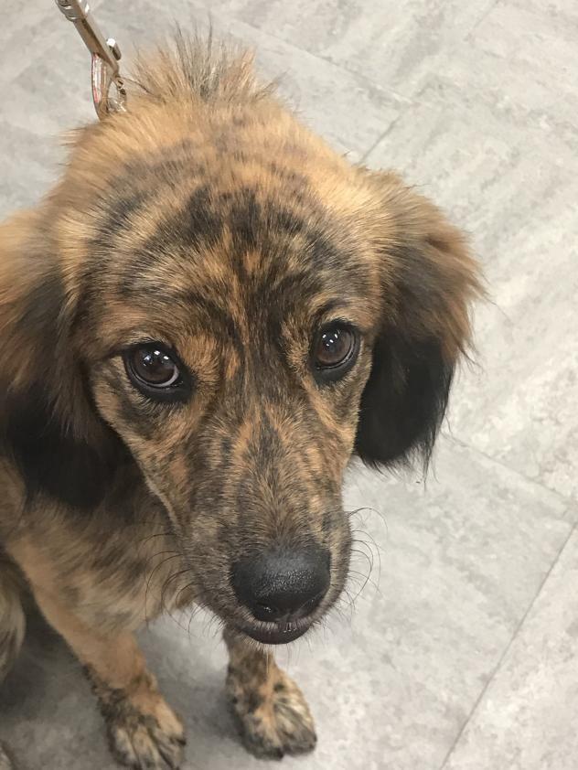Adopt Cali on | Dogs, Animal rescue, Australian shepherd
