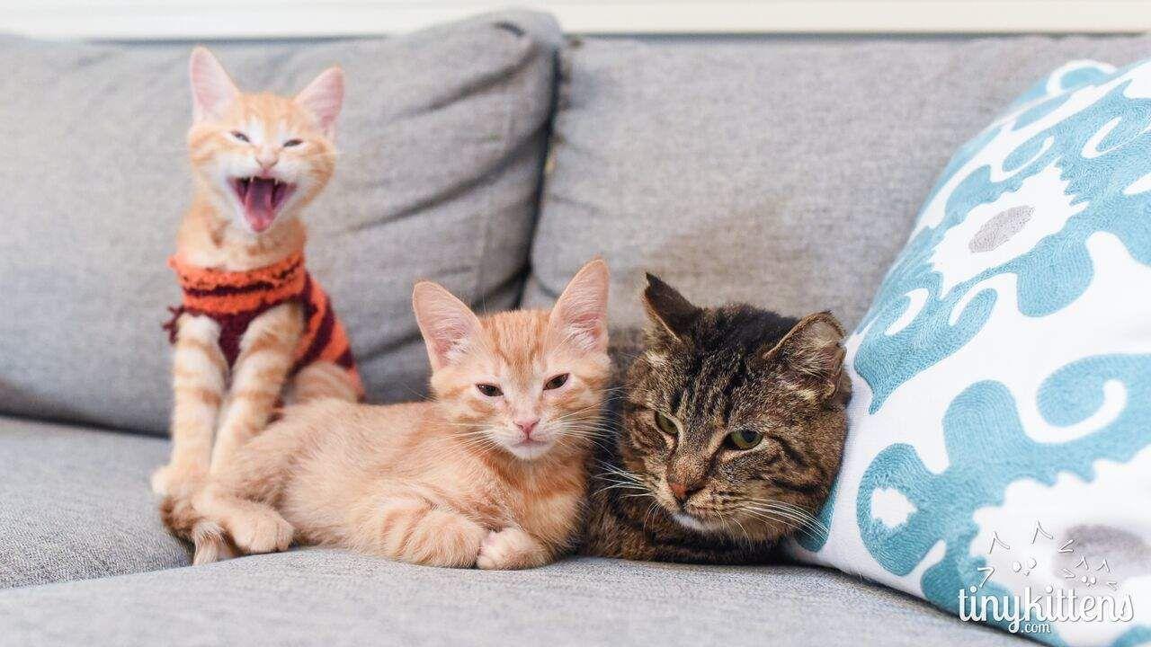 Senior Cat Was So Grumpy Until He Became Grandpa To Kittens Kitten Breeds Kittens Cute Cats