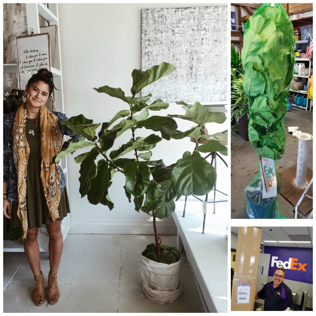 Fiddle Leaf Fig in the shop from Plantz in Tampa.  Delivered to the door and unpacked - love it!