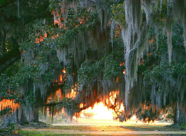 Sun Through Live Oaks Buckets And Beautiful Places
