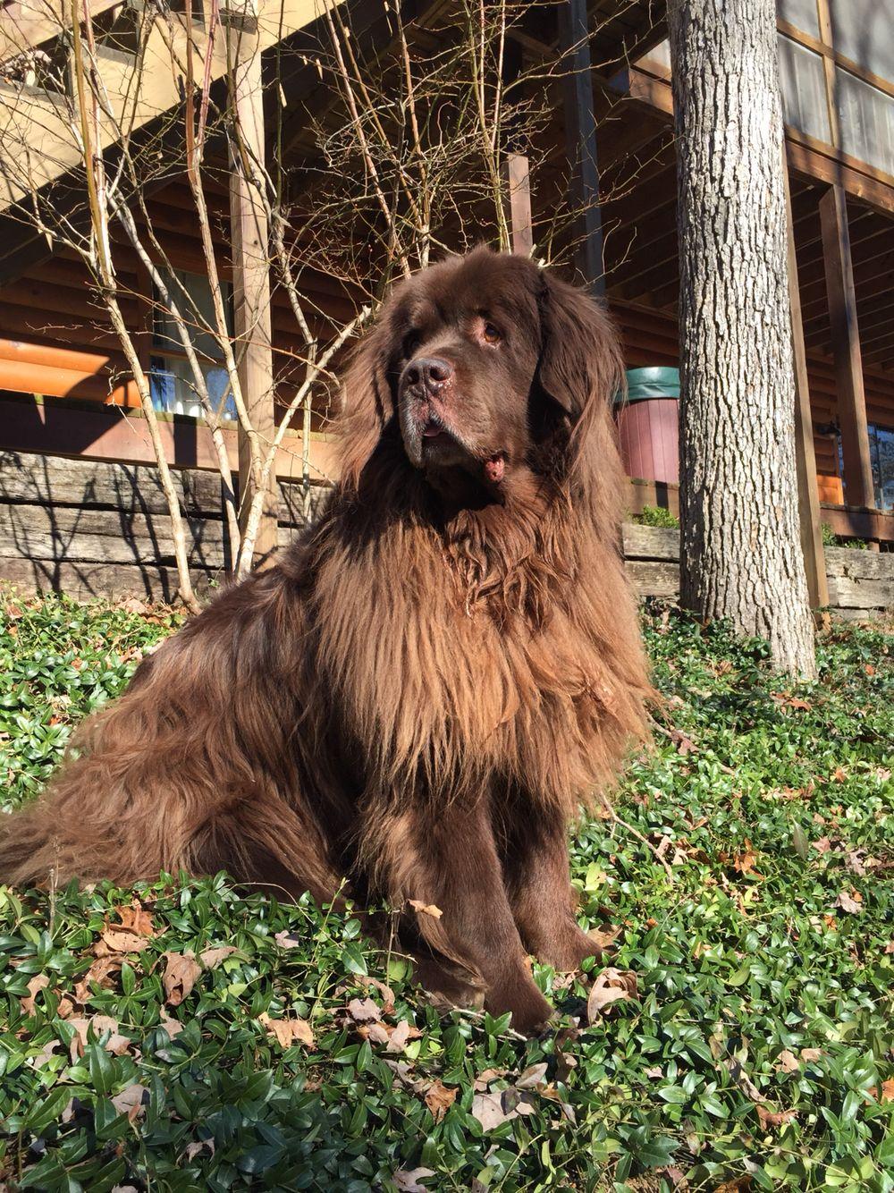 Zeus, our Newfoundland dog, out enjoying the sunshine and