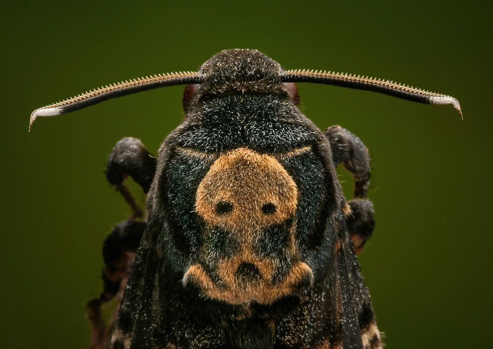 Death's head hawk moth, Acherontia atropos. This is as close as I want to get.