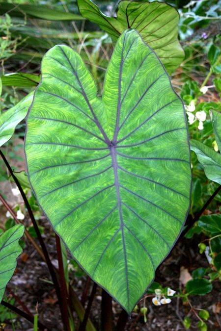 'Blue Hawaii' Colocasia. (Taro.) Hardy to zone 7b. (I'm in 7a.)