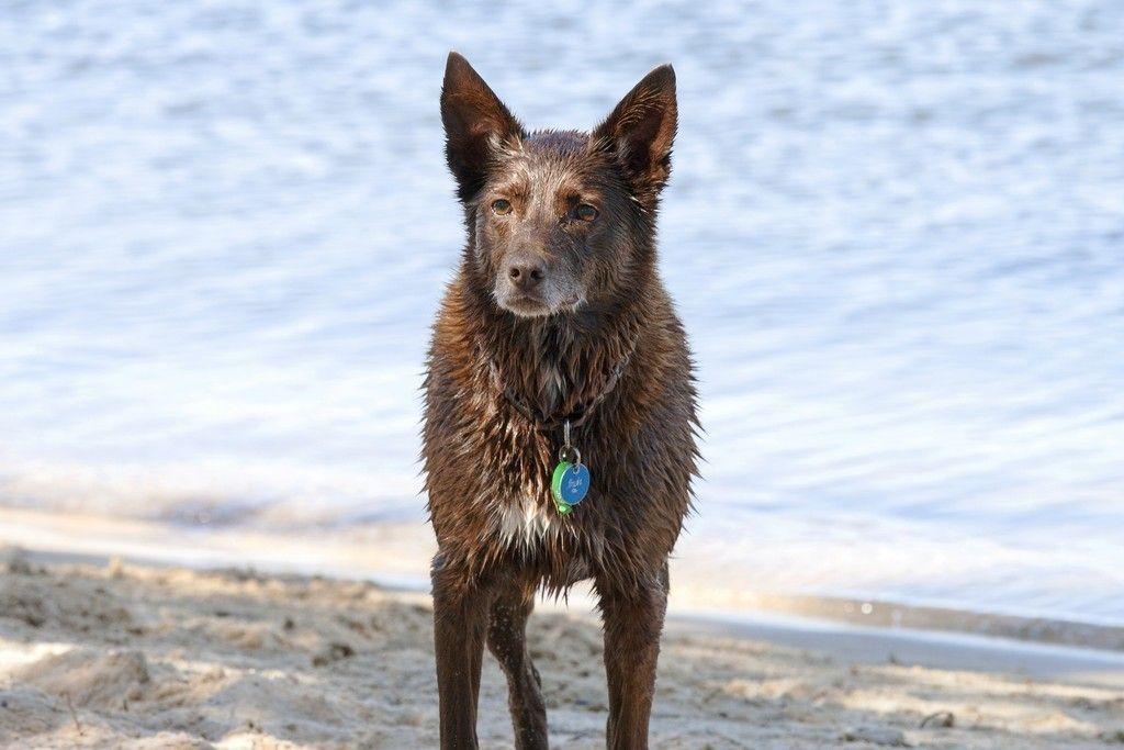 Wet dog, animal, Australian shepherd, 4k wallpaper