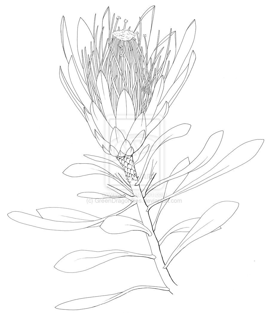 Images For > King Protea Drawing Protea art, Flower