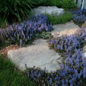 Buy Ajuga Chocolate Chip Perennial Plants Online. Garden Crossings Online Garden Center offers a large selection of Bugleweed Plants. Shop our Online Perennial catalog today!