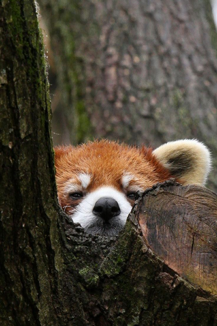 Red Panda Nepal Burma E China Red Panda Animals Beautiful Animals