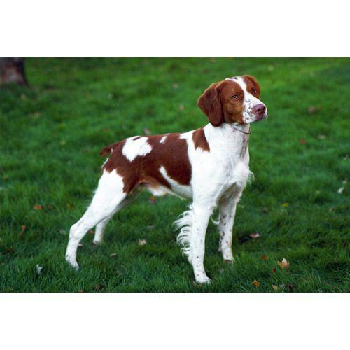 Brittany Dog Breeds Dog Com Brittany Dog Brittany Spaniel Dogs Dog Breeds Medium
