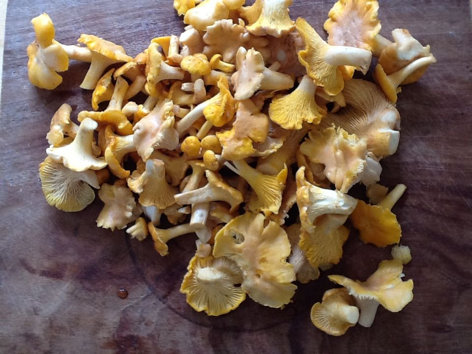 Look what I found this morning! Over half a kilo of yummy chanterelles!!!