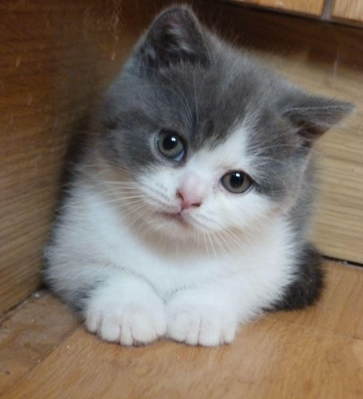 British Shorthair Kittens Cute Image 6600 Kittens Cutest Cute Baby Animals Cute Cats