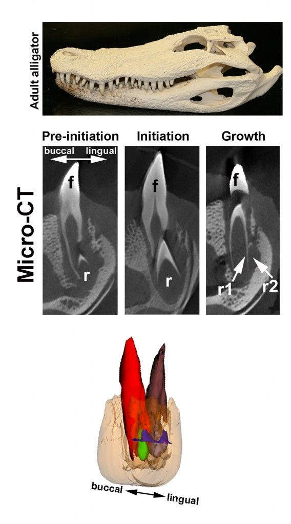 """Alligator Stem Cell Study Gives Clues To Tooth Regeneration  """"Alligator teeth are implanted in sockets of the dental bone, like human teeth,"""" said Ping Wu, assistant professor of pathology at the Keck School and first author of the study. """"They have 80 teeth, each of which can be replaced up to 50 times over their lifetime, making them the ideal model for comparison to human teeth."""""""
