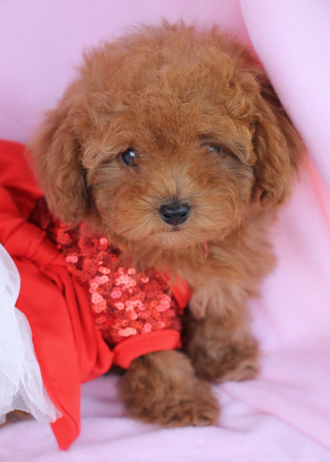 Adorable Toy Poodle Puppy By Teacups Puppies Boutique My