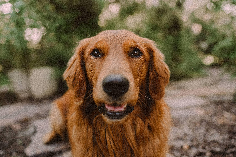 Golden Retriever in 2020 Golden retriever, Hiking dogs