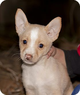 Owensboro Ky Chihuahua Pomeranian Mix Meet Puppies A Puppy