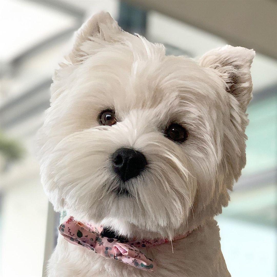 Yay For Friyay Westie Dogs Westie Puppies Westie Terrier