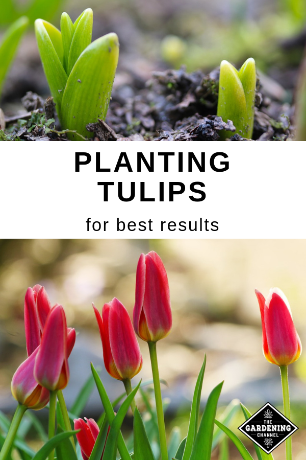 Don T Miss These Planting Tips For Healthy Tulips Follow This