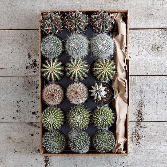 Cacti...