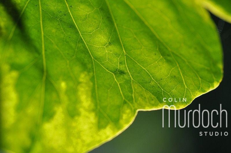 Macro Leaf - Fine Art Photography For Sale at www.colinmurdochstudio.smugmug.com