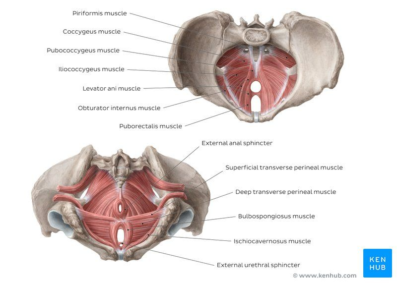 Training pubococcygeus-muskel Pubococcygeus Muscle