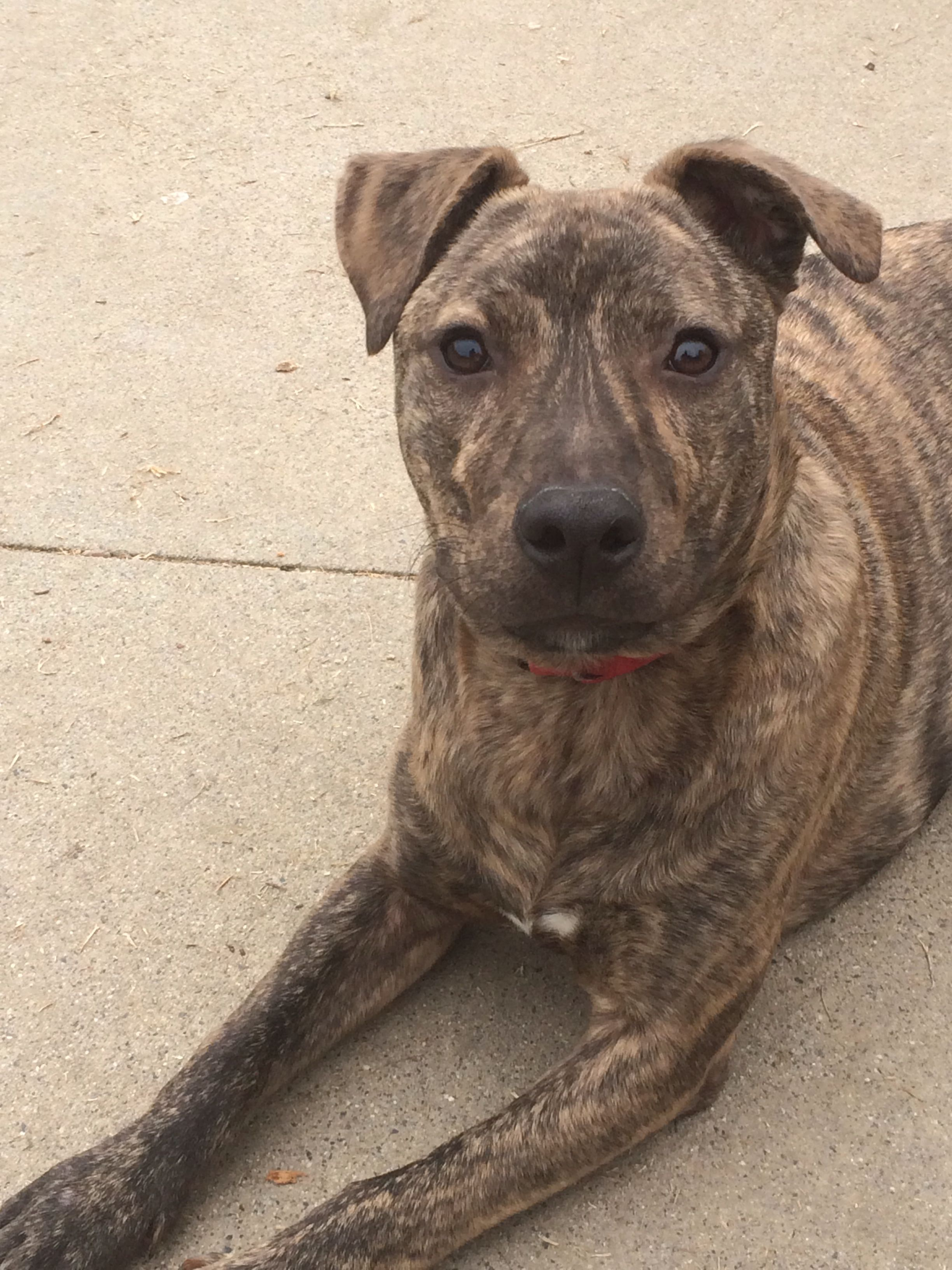 Congo is an adorable mountain cur puppy who is up for